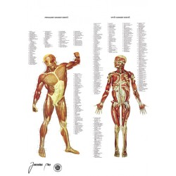 Muscular system charts 50 x...