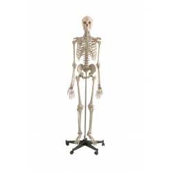 Anatomical Model, Skeleton