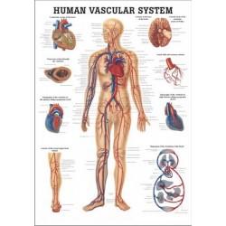 Verenkiertojärjestelmä, kartta