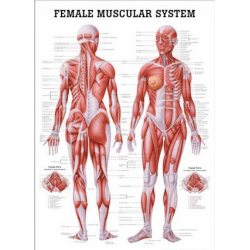 Female muscular system 70 x...