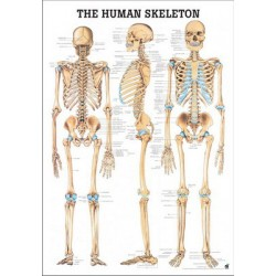 MINI The Human Skeleton chart